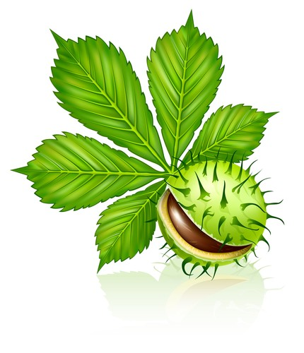 chestnut seed fruit with green leaf isolated on white vector illustration